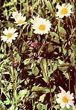Fiori primaverili aglio orsino ranuncolo favagello - Geranio giallo ...